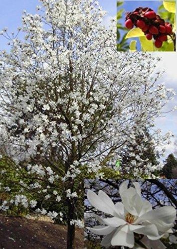 Sternmagnolie Duftende Blüten