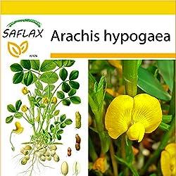 SAFLAX - Anzucht Set - Erdnuß - 8 Samen - Arachis hypogaea