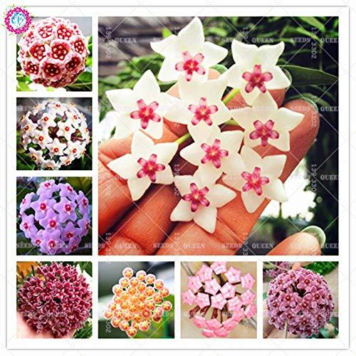 Shopmeeko Samen: 100 Stück Hoya carnosa Schöne Climbing Kugel Orchideen-Blume Perennial Blooming Pflanzen für Hausgarten Beste Verpackung: mix