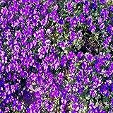 Yukio Samenhaus - 50 Stück Samen Schleierkraut Stauden Gypsophila Paniculata winterhart mehrjährig, Schneeflocke geeignet für Balkon, Garten, Topf, Terassen