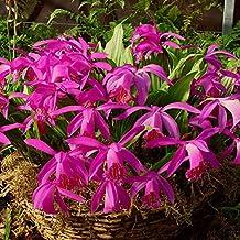 Red-purple Garden Orchid ❀ Pleione Tongariro ✿ Easy Garden