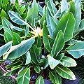 Future Exotics Musella Lasiocarpa LOTUS Banane Bananenstaude von Future Exotics auf Du und dein Garten