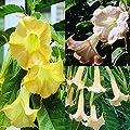 Engelstrompeten Kollektion - 3 pflanzen von Meingartenshop - Du und dein Garten