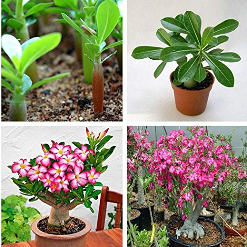 Ncient 20/30pcs/Sac Graines Semences Roses du Désert, Graine de Fleurs en Pot Parfumée Seed Bonsaï Plante en Pot Décoration d'Intérieu Jardin