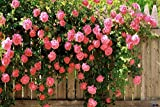 Best Climbing Roses - Floral Treasure Pink Climbing Rose Seeds - Pack Review