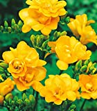 #8: Freesia Double Flower Bulbs Yellow (8 Bulbs) By Kraft Seeds
