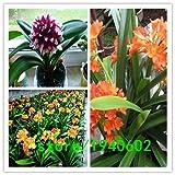 Vendita! 500 colori Clivia semi piante bonsai semi 500seeds / pack Clivia Fiori Seeds