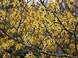 Asklepios-seeds - 50 Semi di Hamamelis vernalis
