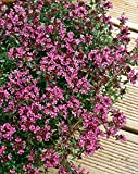 Thyme Creeping Red herb aromatic leaves crimson red flowers summer loved by bees ground cover 9cm pot