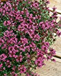 Thyme Creeping Red herb aromatic leav...