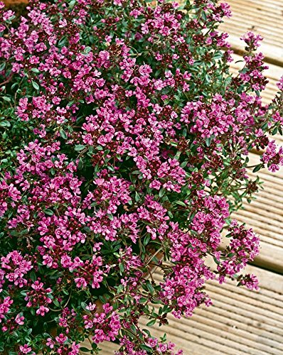 thyme-creeping-red-herb-aromatic-leaves-crimson-red-flowers-summer-loved-by-bees-ground-cover-9cm-po