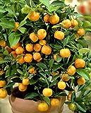 Calamondin-Orange, Mandarinen-Busch 1 Pflanze