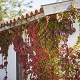 Wilder Wein Parthenocissus quinquefolia, kletternd und kräftig zur Wandbegrünung Topf gewachsen (60-100cm)