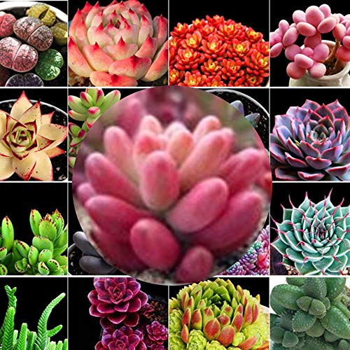 Portal Cool 10 Samen: Phyllanthus Emblica Samen, Amla-Baum, Indische Stachelbeere, Tcm-Medizin