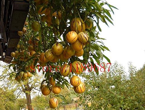 100 graines de mini Melon - Graines de fruits et de légumes bio sans OGM pour jardin à faire soi-même à la maison