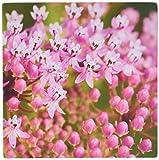 3drose LLC 20,3x 20,3x 0,6cm Maus Pad, North Carolina, Swamp Knollige Seidenpflanze Flora, JOANNE Wells (MP _ 93103_ 1)