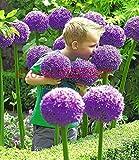 100 Riesen Allium Samen Giganteum Samen lila Allium große Pompon Blumensamen für zu Hause Gartenpflanzen
