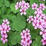 AGROBITS 100P Oxalis Graines: 10P Graines vivaces Shamrock- Oxalis triangularis bulbes de fleurs Leaf Gardens