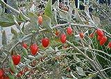 Goji-Beere Goji Lycium barbarum Pflanze 20cm leckere essbare Früchte Beeren