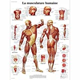 3B Scientific VR2118L Planche Anatomique, La Musculature