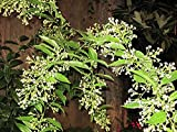 LIVE *NIGHT JASMINE* ** MOST POWERFUL SCENT IN THE WORLD** Night Blooming Jasmine, Night Scented Jessamine, Queen of the Night