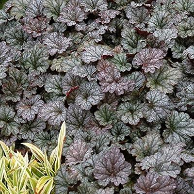 lichtnelke - Purpurglöckchen ( Heuchera ' Rave On ' ) von Lichtnelke Pflanzenversand - Du und dein Garten