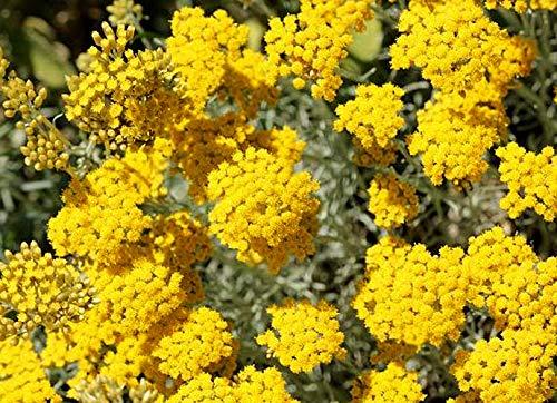 Currykraut - Italienische Strohblume - Helichrysum italicum - 200 Samen