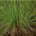 Zitronengras, Lemongrass - Cymbopogon flexusos - 50+ Samen von exotic-samen bei Du und dein Garten