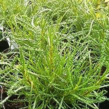 Olivenkraut im 3er Set,Olivenstrauch,Santolina viridis