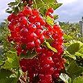 Grüner Garten Shop Rosetta, großfrüchtige rote Johannisbeere, aromatischer Geschmack, Busch im 3 Liter Topf von Grüner Garten Shop auf Du und dein Garten