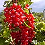 Grüner Garten Shop Rosetta, großfrüchtige rote Johannisbeere, aromatischer Geschmack, Busch im 3 Liter Topf