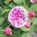 Variante Strauchrose von Garten Schlüter - Du und dein Garten
