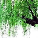 Shopmeeko 100 Teile/paket, Schöne Wahre Frische Riesige Pflanze, grüner baum, einfach zu wachsen, Salix babylonica baum, Willow Trees