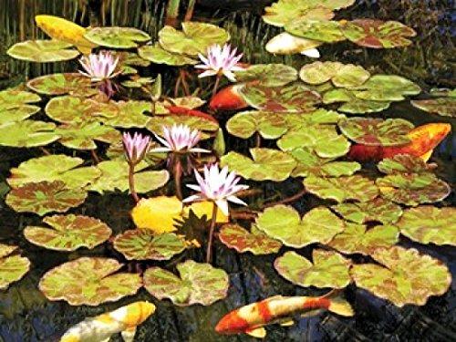 The Poster Corp Rosiland Solomon - Koi Pond I Kunstdruck (30,48 x 22,86 cm)