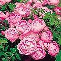 Rose Raubritter, 1 Stück von Gärtner Pötschke - Du und dein Garten