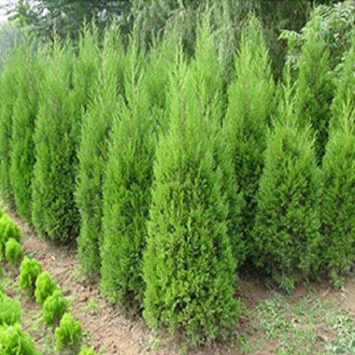 Ncient 20 semi sementi di conifere di cipresso pino semi piante fiori rari per orto giardino balcone interni ed esterni