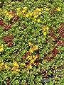 Sedum floriferum Weihenstephaner Gold, 100 Pflanzen von Dachstauden - Du und dein Garten
