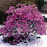 Dominik Blumen und Pflanzen, Vorfrühlingsalpenrose, Rhododendron praecox, violett-blau blühend, 1 Strauch, 3-4 triebig, 20 - 40 cm hoch, 3 Liter Container, plus 1 Paar Handschuhe gratis