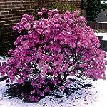 Vorfrühlingsalpenrose violett-blau bl...