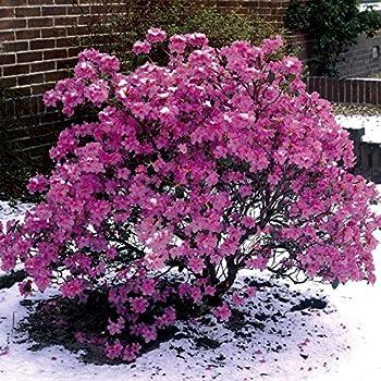 Dominik Blumen und Pflanzen Vorfrühlingsalpenrose, Rhododendron praecox, violett-blau blühend, 1 Strauch, 3-4 triebig, 20-40 cm hoch, 3 Liter Container, plus 1 Paar Handschuhe gratis