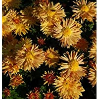 Chrysanthemum hortorum Winteraster Juno