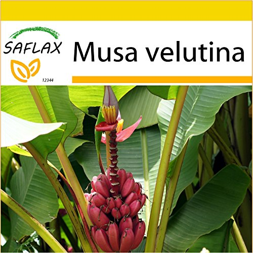 Kokos-süße Frucht (SAFLAX - Anzucht Set - Kenia-Banane - 8 Samen - Musa velutina)