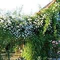 Paul's Himalayan Musk Ramblerrose von Weber-Rosen auf Du und dein Garten