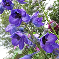 Delphinium Seeds in Blue - Cottage Garden - Larkspur Seeds