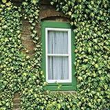 Efeu Goldherz- Hedera Helix - Efeuranke als Sichtschutz oder Bodendecker - Kletterpflanze für Garten, Teich und Vorgarten - Efeublätter winterfest und immergrün - Pflanzen in Top Qualität von Garten