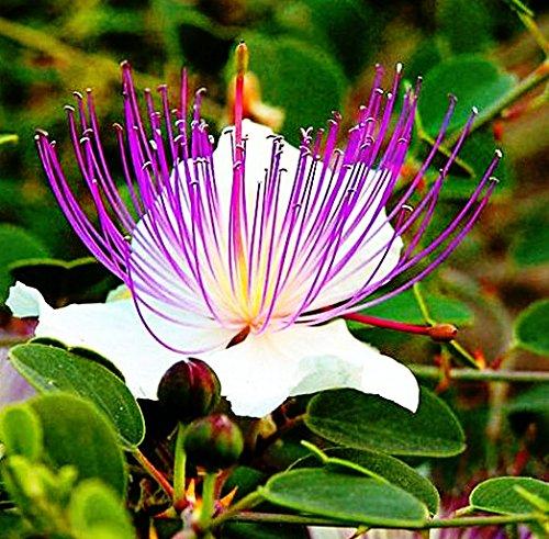 50 echte Kapern Samen, Capparis spinosa, Zarte weiß-violette Blüten, aus Sizilien