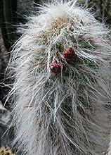 Tropica Cactus- Andes hombre viejo (Oreocereus celsianus) - 40 semillas