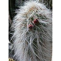 Semi di Vecchio uomo delle Ande (Oreocereus celsianus) - 40 semi