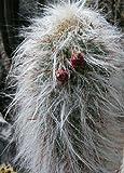 Tropica - Kakteen - Alter Mann der Anden - 40 Samen