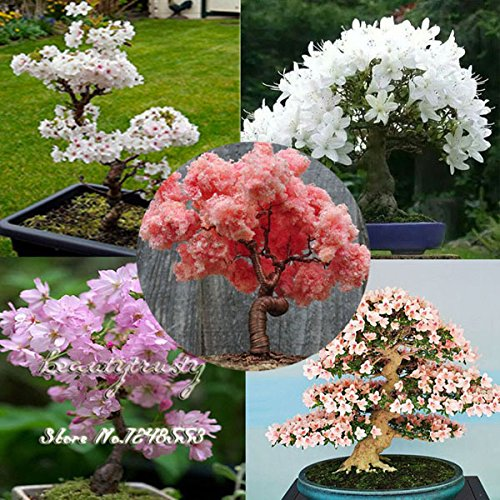 20 pcs 5 sortes sakura japonais graines bonsaï, graines de bonsaï fleurs de cerisier, bricolage maison et le jardin,